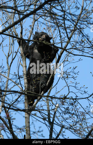 Spectacled bear (Tremarctos ornatus) climbs up the tree at Schonbrunn Zoo in Vienna, Austria. - Stock Photo