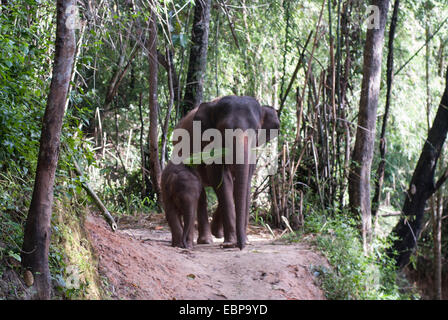 A mother elephant walks with her baby in the jungle of Chiang Mai, Thailand - Stock Photo