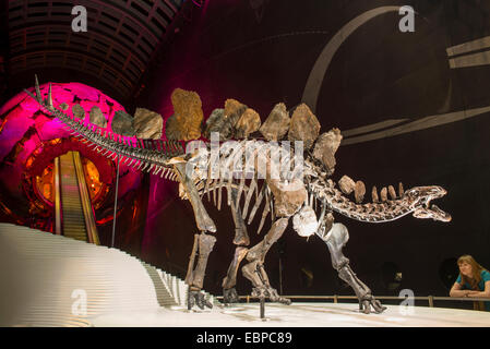 London, UK. 3rd December, 2014. The 150 million year old Stegosaurus stenops is the first complete dinosaur specimen - Stock Photo