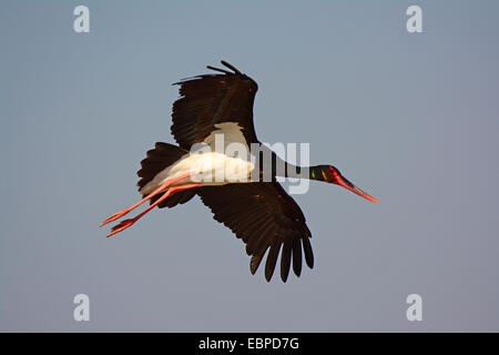 Black Stork- Ciconia nigra flying - Stock Photo