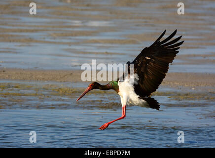 Black Stork landing in a pond - Stock Photo