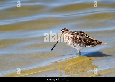 common snipe (Gallinago gallinago) - Stock Photo