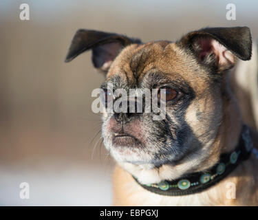 Bugg - cross between Boston Terrier and Pug dog - Stock Photo