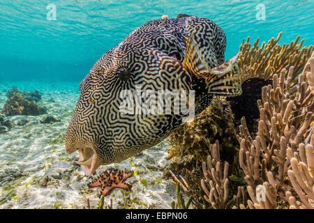 Map puffer (Arothron mappa) feeding on sponges on the house reef on Sebayur Island, Komodo Island National Park, - Stock Photo