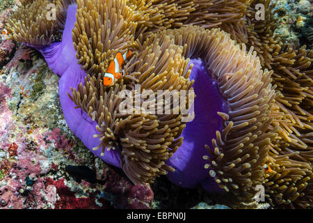 False clown anemonefish (Amphiprion ocellaris), Sebayur Island, Komodo Island National Park, Indonesia, Southeast - Stock Photo