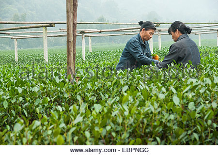 Two Asian women work together plucking tea leaves at the Dragon Well Tea green tea plantation, Hangzhou, China, - Stock Photo