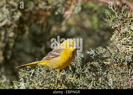 Yellow warbler (Dendroica petechia), female, Chiricahuas, Coronado National Forest, Arizona, United States of America - Stock Photo