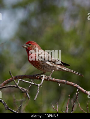 House finch (Carpodacus mexicanus), male, Chiricahuas, Coronado National Forest, Arizona, United States of America - Stock Photo
