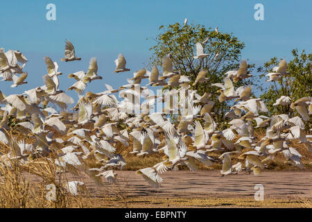 Adult little corellas (Cacatua sanguinea) in flight in Wyndham, Kimberley, Western Australia, Australia, Pacific - Stock Photo