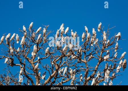 Adult little corellas (Cacatua sanguinea) in boab tree in Wyndham, Kimberley, Western Australia, Australia, Pacific - Stock Photo