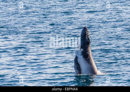 Humpback whale (Megaptera novaeangliae) calf breaching in Yampi Sound, Kimberley, Western Australia, Australia, - Stock Photo