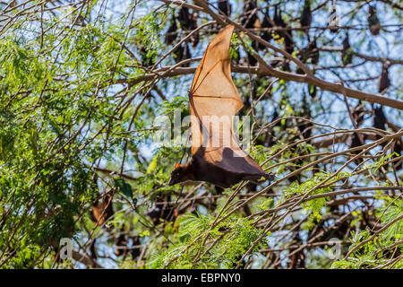 A camp of little red flying foxes (Pteropus scapulatus) in the Ord River, Kimberley, Western Australia, Australia, - Stock Photo