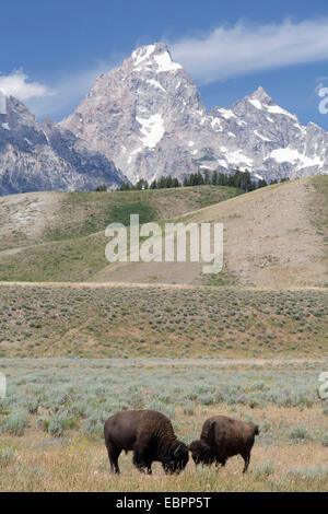 American Bison (Bison bison), Grand Teton National Park, Wyoming, United States of America, North America - Stock Photo