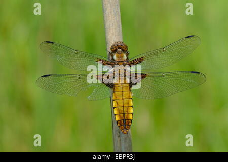 Female broad bodied chaser dragonfly (Libellula depressa) with one damaged wing resting on a reed stem, Wiltshire, - Stock Photo