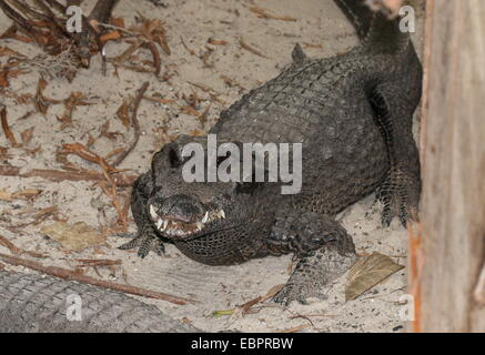 West-African Dwarf Crocodile (Osteolaemus tetraspis), a.k.a. Broad-snouted or Bony crocodile - Stock Photo