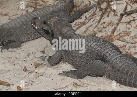 West-African Dwarf Crocodile (Osteolaemus tetraspis), a.k.a. Broad-snouted or Bony crocodile - Stock Photo