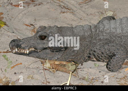 West-African Dwarf Crocodile (Osteolaemus tetraspis), a.k.a. Broad-snouted or Bony crocodile, close-up of the head - Stock Photo