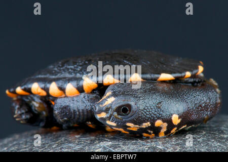Snake-necked turtle / Chelodina gunaleni - Stock Photo