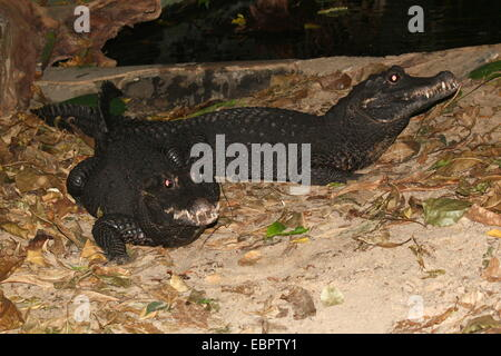 Two West-African Dwarf Crocodiles (Osteolaemus tetraspis)  a.k.a. Broad-snouted or Bony crocodile - Stock Photo