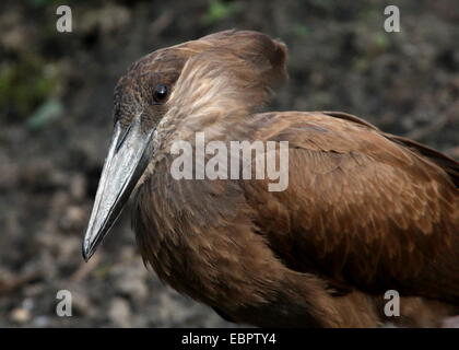 Close-up of the hammer-shaped head of a Hamerkop or Hammerhead stork (Scopus umbretta) - Stock Photo