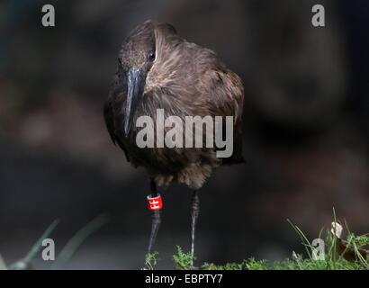 Hamerkop or Hammerhead stork (Scopus umbretta) - Stock Photo