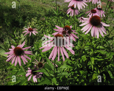 Purple Cone Flower, Eastern purple-coneflower, Purple-coneflower (Echinacea purpurea, Rudbeckia purpurea, Brauneria - Stock Photo