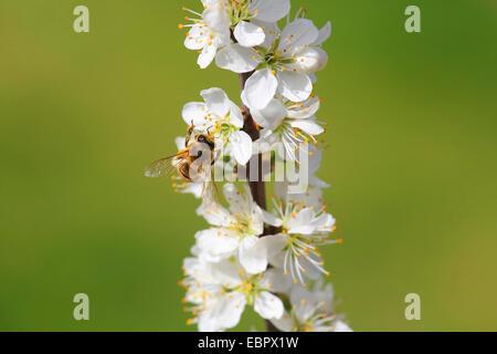 blackthorn, sloe (Prunus spinosa), flowering twig with bee, Germany - Stock Photo