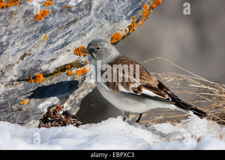 white-winged snow finch (Montifringilla nivalis), sitting in snow beside on a lichen-covered rock, Switzerland, - Stock Photo