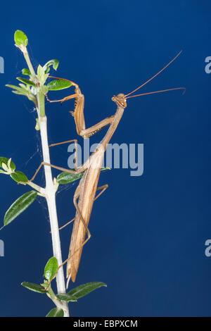 European preying mantis (Mantis religiosa), at a twig - Stock Photo