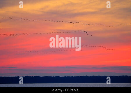 Common crane, Eurasian Crane (Grus grus), flock on its way to the sleeping place at sunset, Germany, Mecklenburg - Stock Photo