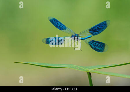 banded blackwings, banded agrion, banded demoiselle (Calopteryx splendens, Agrion splendens), landing on a leaf, - Stock Photo