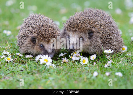 Western hedgehog, European hedgehog (Erinaceus europaeus), couple in a flower meadow with daisies, Germany, Lower - Stock Photo