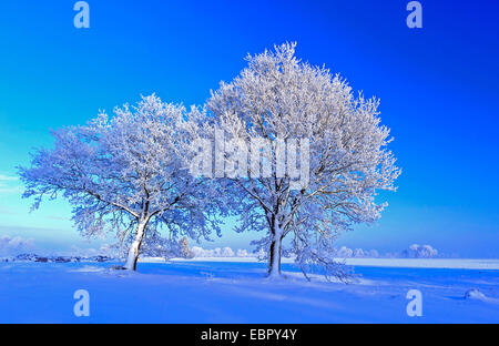common oak, pedunculate oak, English oak (Quercus robur), snow covered oaks, Germany, Lower Saxony, Oldenburger - Stock Photo
