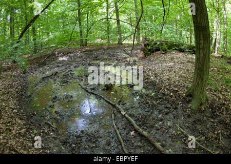 wild boar, pig, wild boar (Sus scrofa), wild boar wallow in forest, Germany - Stock Photo
