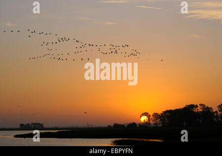 Common crane, Eurasian Crane (Grus grus),  flying off their sleeping place at sunrise, Germany, Mecklenburg-Western - Stock Photo