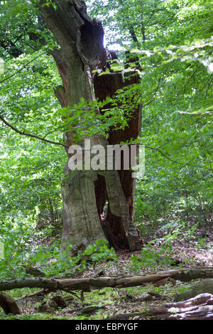 primeval forest with an old dead tree, Germany - Stock Photo