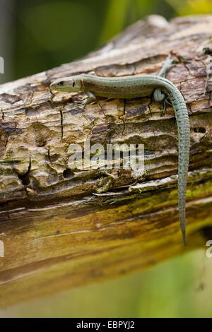 viviparous lizard, European common lizard (Lacerta vivipara, Zootoca vivipara), on a tree trunk, Germany, Bavaria