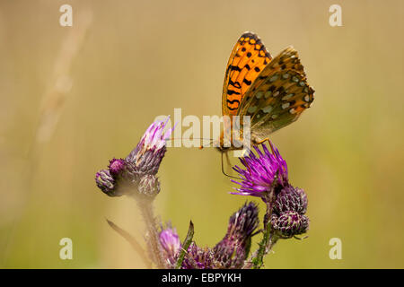 dark green fritillary (Argynnis aglaja, Mesoacidalia aglaja), sitting on a thistle and sucking nectar, Germany, - Stock Photo