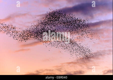 common starling (Sturnus vulgaris), starlings at the evening sky, Germany, Lower Saxony - Stock Photo