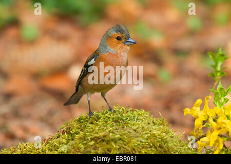 chaffinch (Fringilla coelebs), male, Germany, North Rhine-Westphalia - Stock Photo