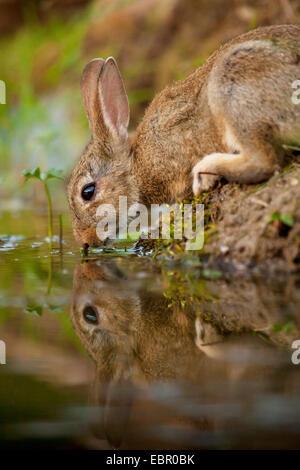 European rabbit (Oryctolagus cuniculus), drinking on the waterfront, Germany, Rhineland-Palatinate - Stock Photo