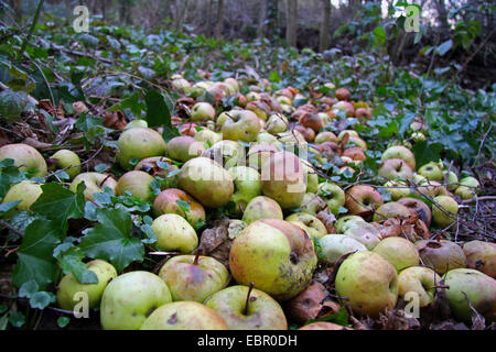 apple (Malus domestica), apples on the ground for feeding animals in a forest in winter, Germany - Stock Photo