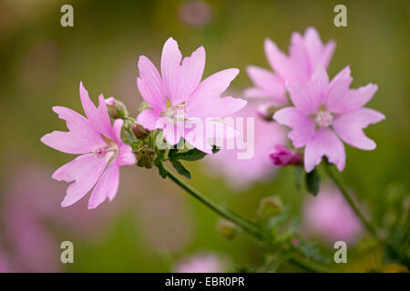 hollyhock mallow, large-flowered mallow, pink mallow, vervian cheeseweed (Malva alcea), flowers, Germany, Thuringia - Stock Photo