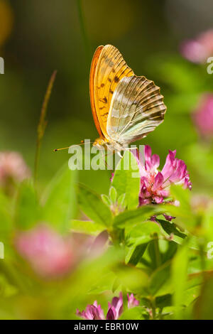 silver-washed fritillary (Argynnis paphia), sitting on Zigzag Clover, Germany, Bavaria - Stock Photo