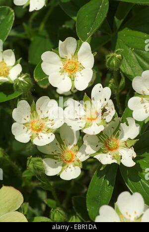 White Cinquefoil (Potentilla alba), blooming, Germany - Stock Photo