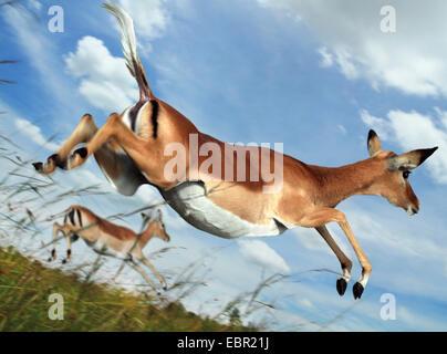 impala (Aepyceros melampus), jumping in flight, Kenya, Masai Mara National Park - Stock Photo