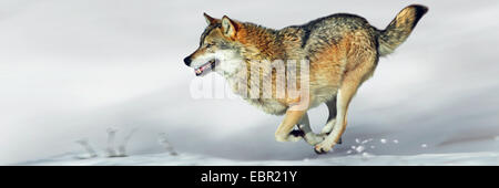 European gray wolf (Canis lupus lupus), wolf running over snow - Stock Photo