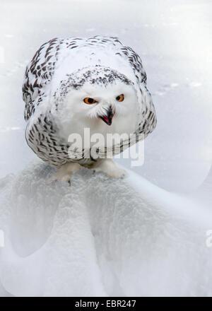 Snowy Owl (Strix scandiaca, Nyctea scandiaca, Bubo scandiacus), sits in snow - Stock Photo