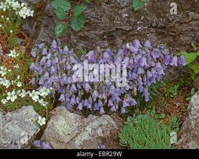 fairies thimbles (Campanula cochleariifolia), blooming, Slovakia, High Tatra - Stock Photo