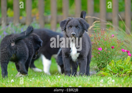 mixed breed dog (Canis lupus f. familiaris), three mongrel puppies in the garden, Germany - Stock Photo